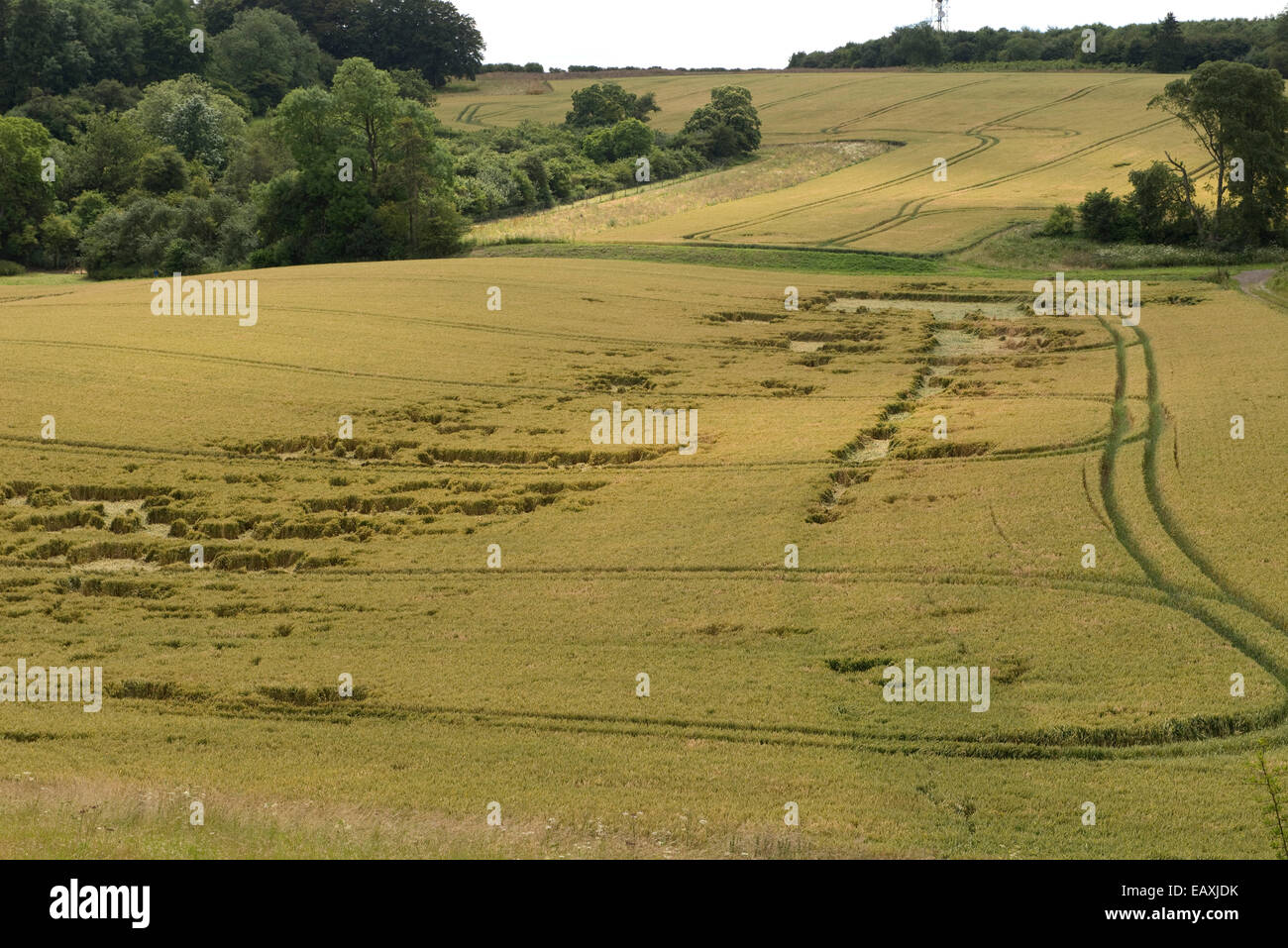 Lodged wheat crop, partially flattened by a summer storm, Berkshire, July - Stock Image