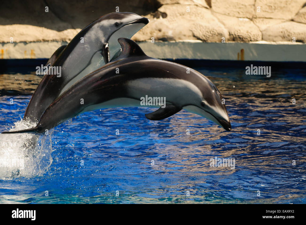 Jumping Pacific Whitesided Dolphins during a show in Vancouver Aquarium - Stock Image