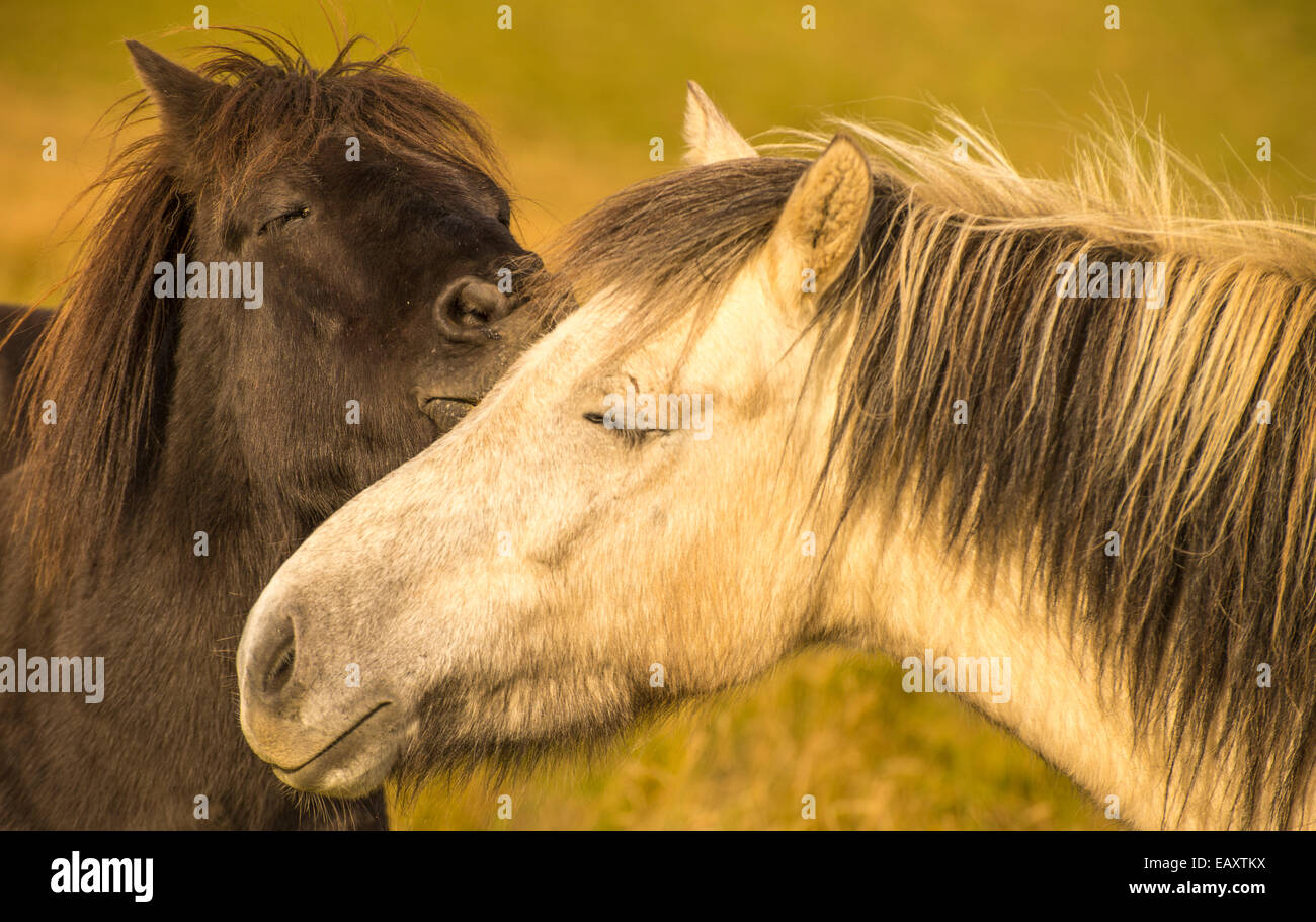 Portrait of two Icelandic horses smooching  in a special moment, Iceland, USA - Stock Image