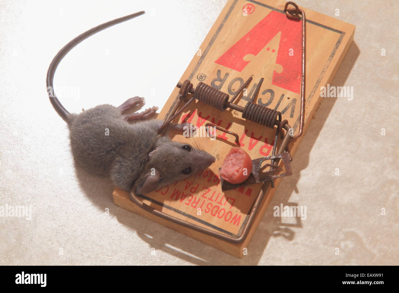 Mouse killed in Mousetrap - Stock Image