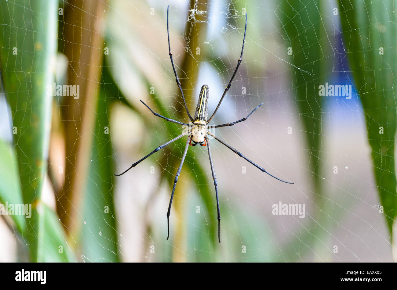 Golden Orb Spider (Nephila pilipes) waiting for prey on webs in the wild, Thailand - Stock Image