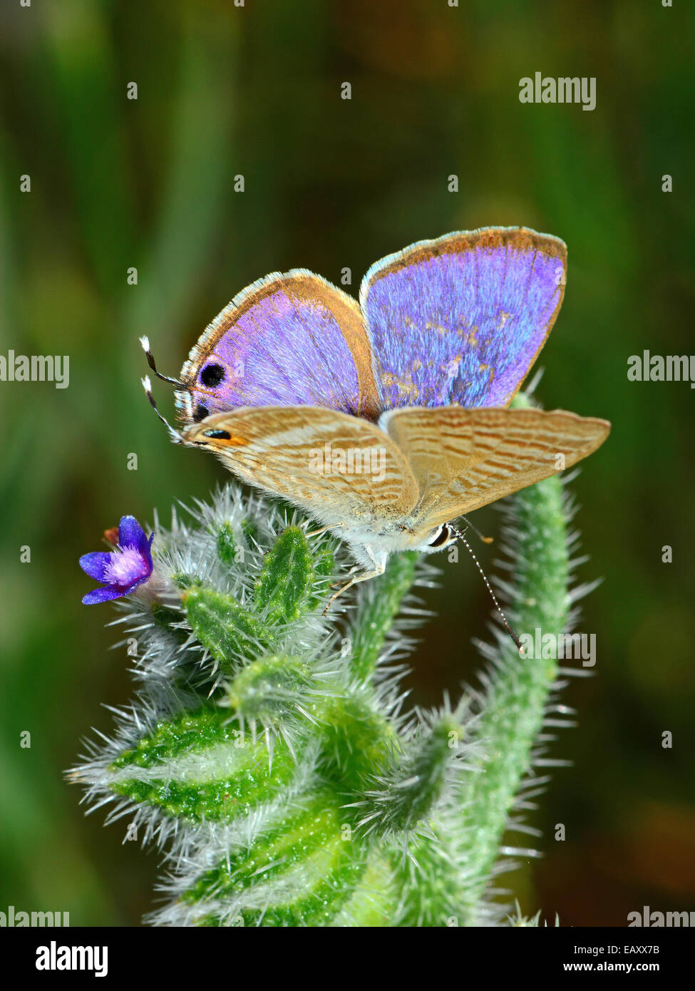 Blue butterfly on spiny plant - Stock Image