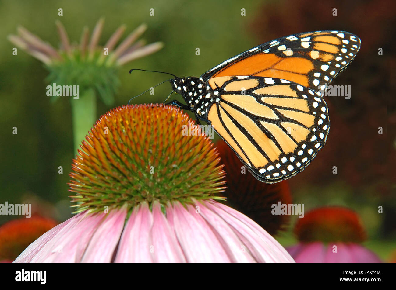 Monarch Butterfly, Feeding on nectar - Stock Image