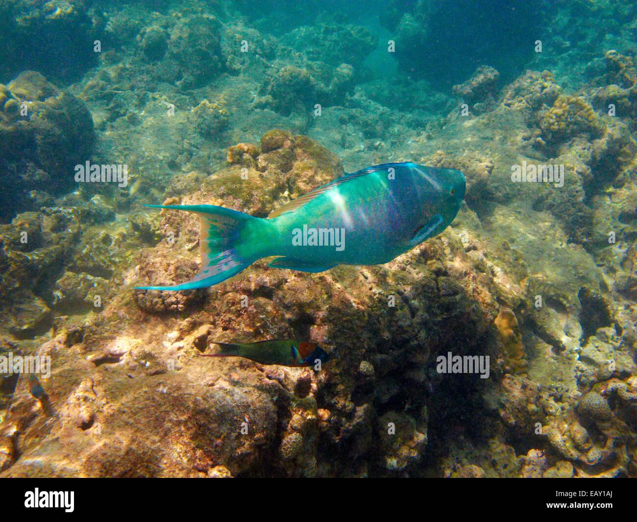 Redlip Parrotfish (Scarus rubroviolaceus), Hanauma Bay ...