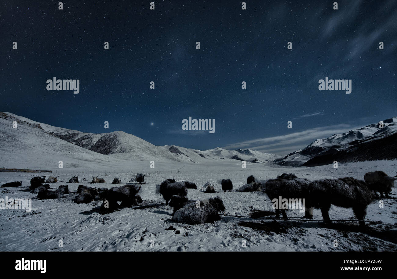 Nomad camp with Yaks at night on the tibetan plateau - Stock Image