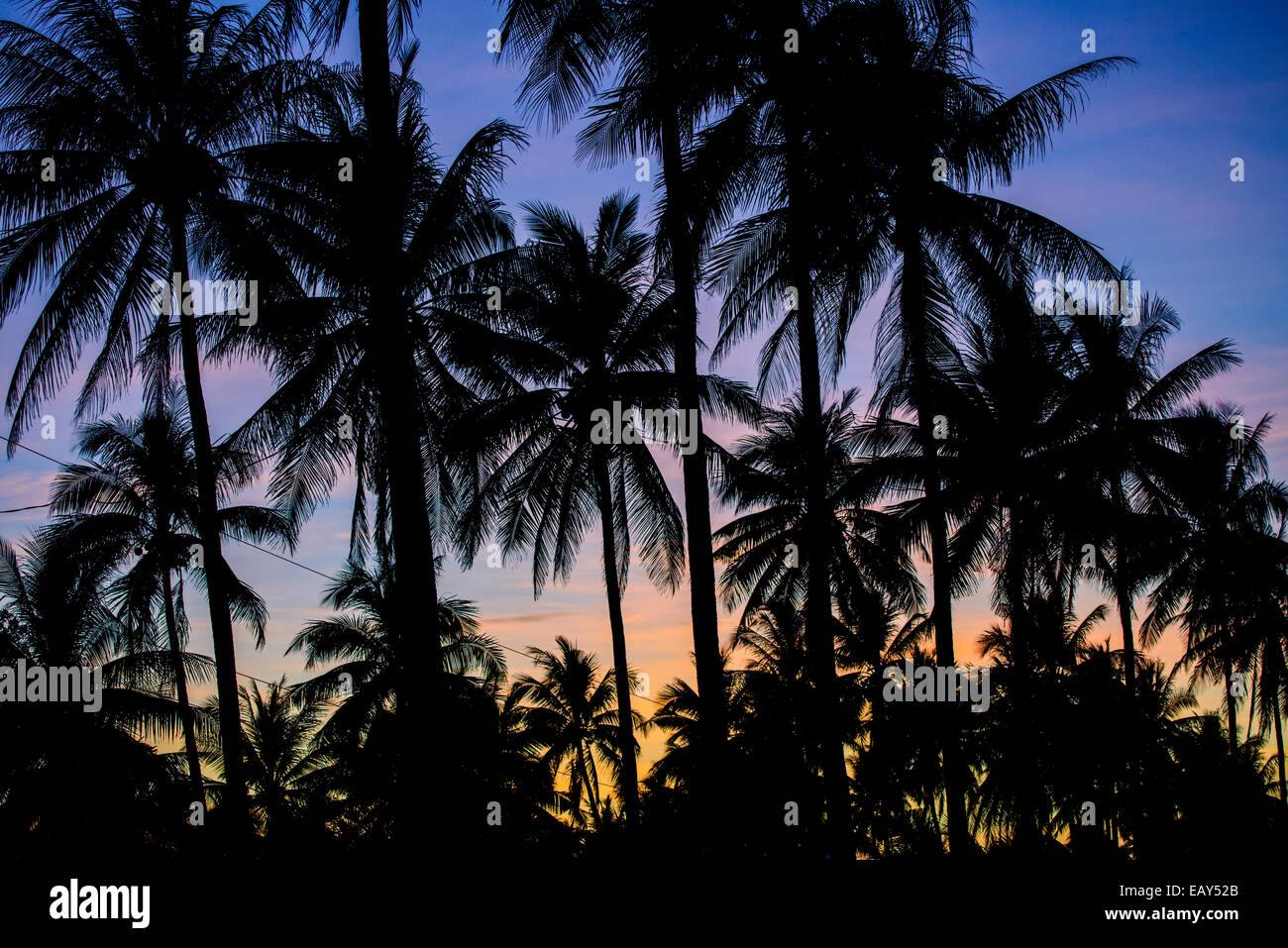 Palm trees, Luzon, Philippines - Stock Image