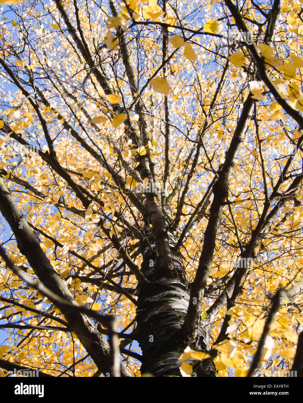 Yellow birch tree, leaves against a blue autumn sky, autumnal scenery from Oslo Norway - Stock Image