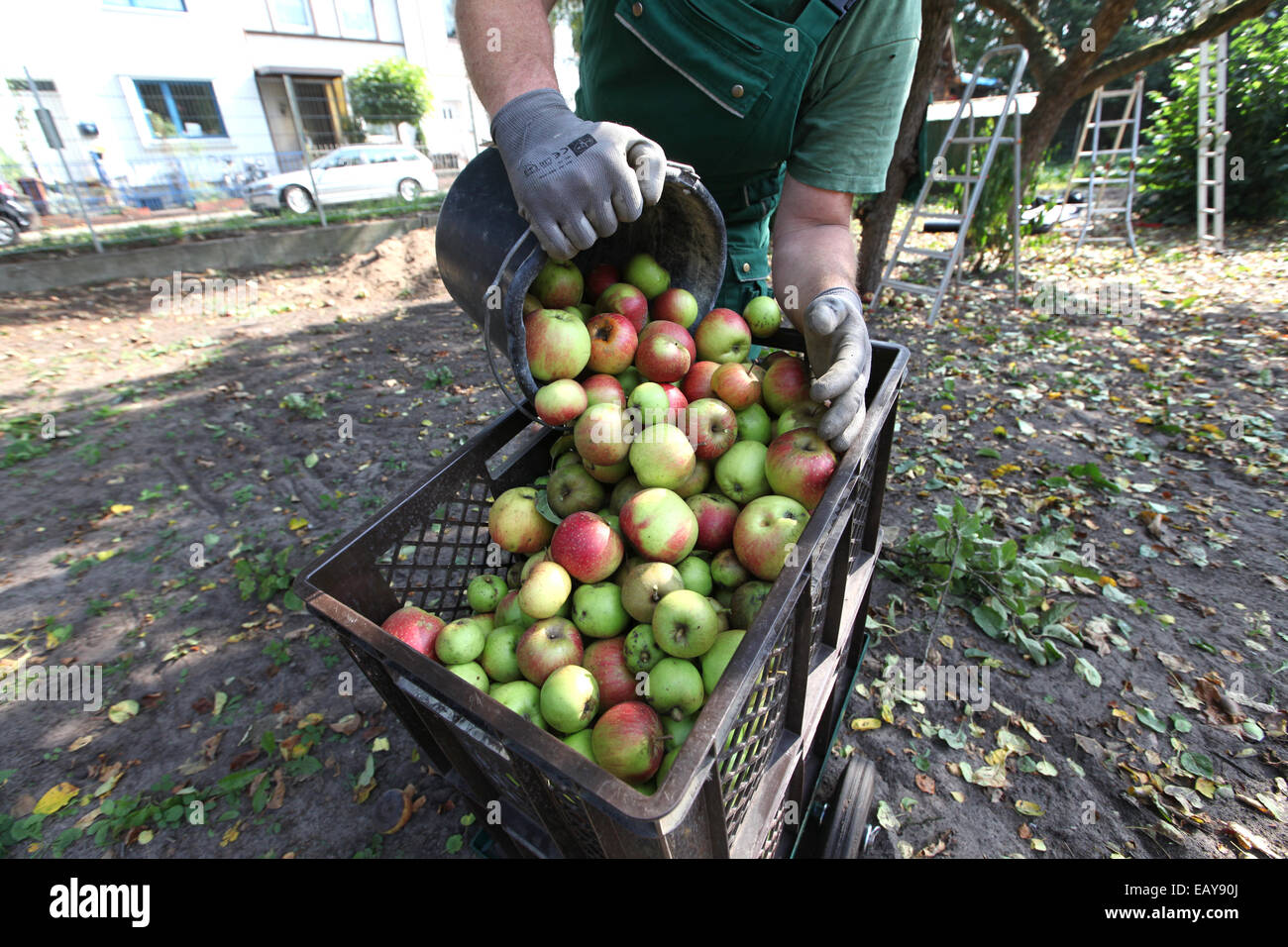 Close-up of a man gathering apples in an urban gardening project - Stock Image