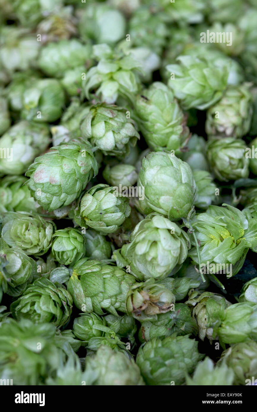 Close-up of harvested hop umbels - Stock Image