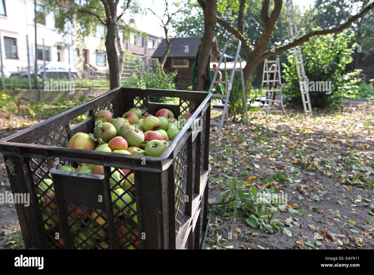 Apple harvest in an urban gardening project in Germany - Stock Image
