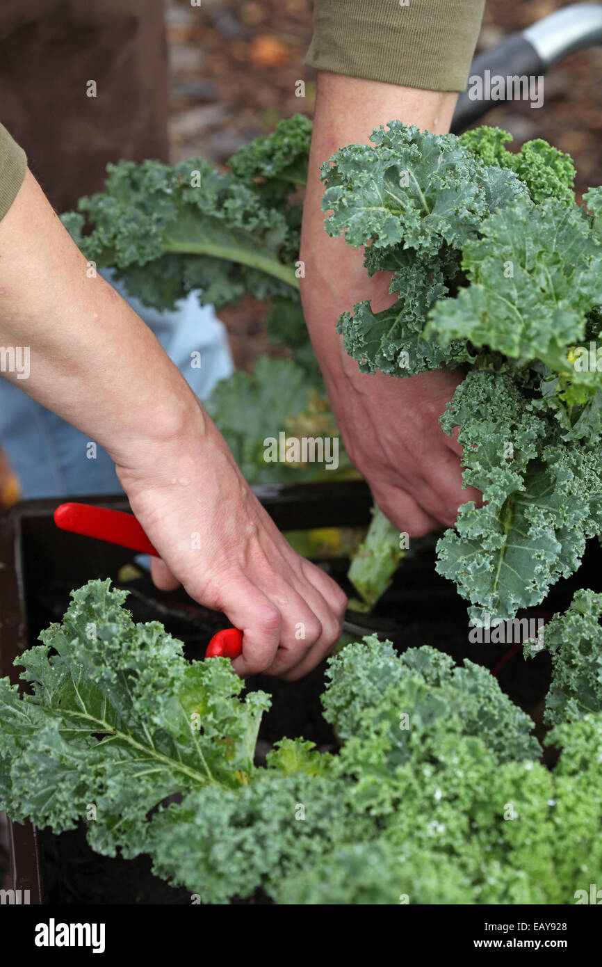 Close-up of hands harvesting curly kale farmed in plant boxes in an urban gardening project in Germany - Stock Image