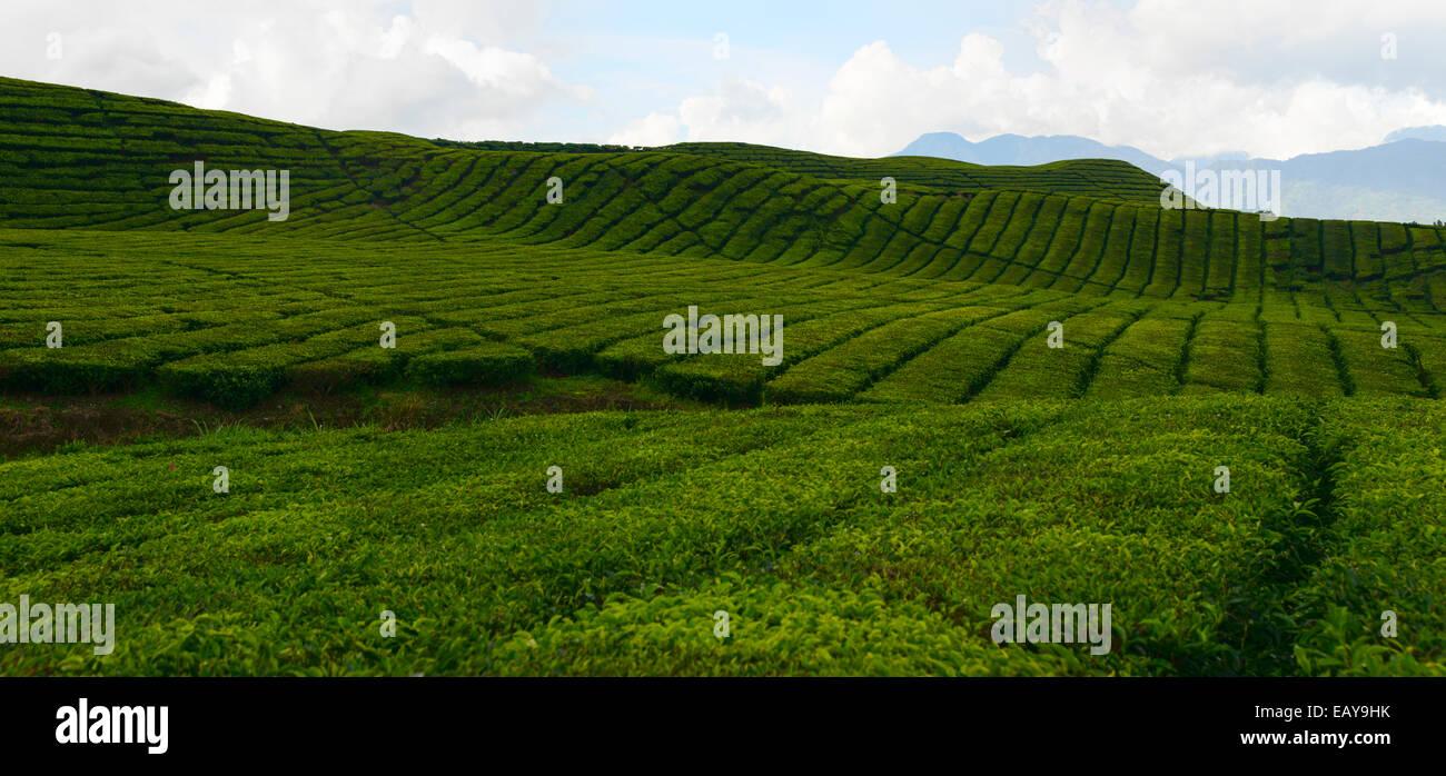 Tea plantations of Sumatra, Indonesia - Stock Image