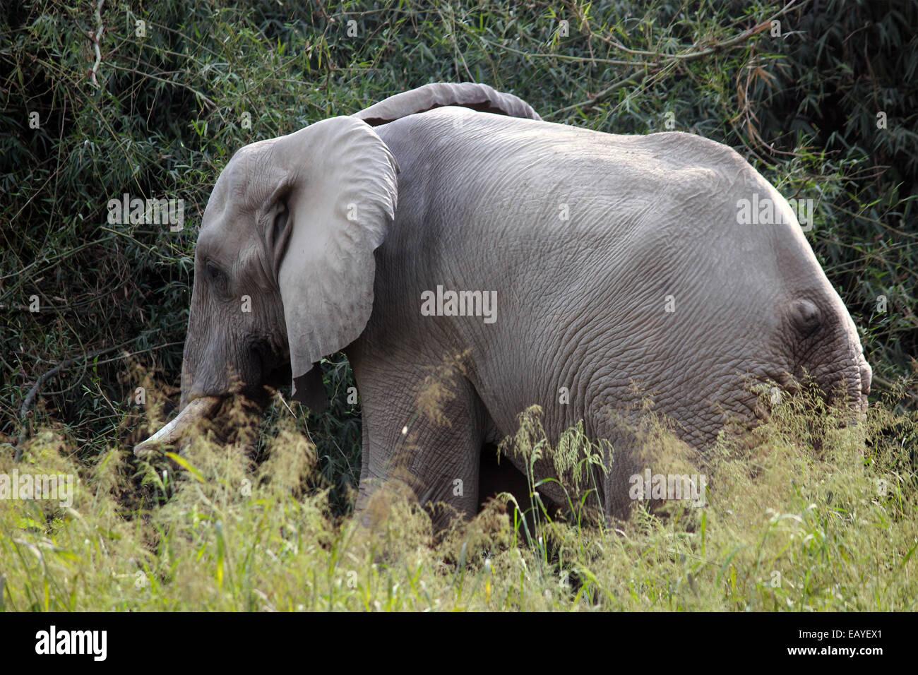 Elephant, Elephantine, Proboscidea, tusk, big ears, big body in New Delhi, India, - Stock Image