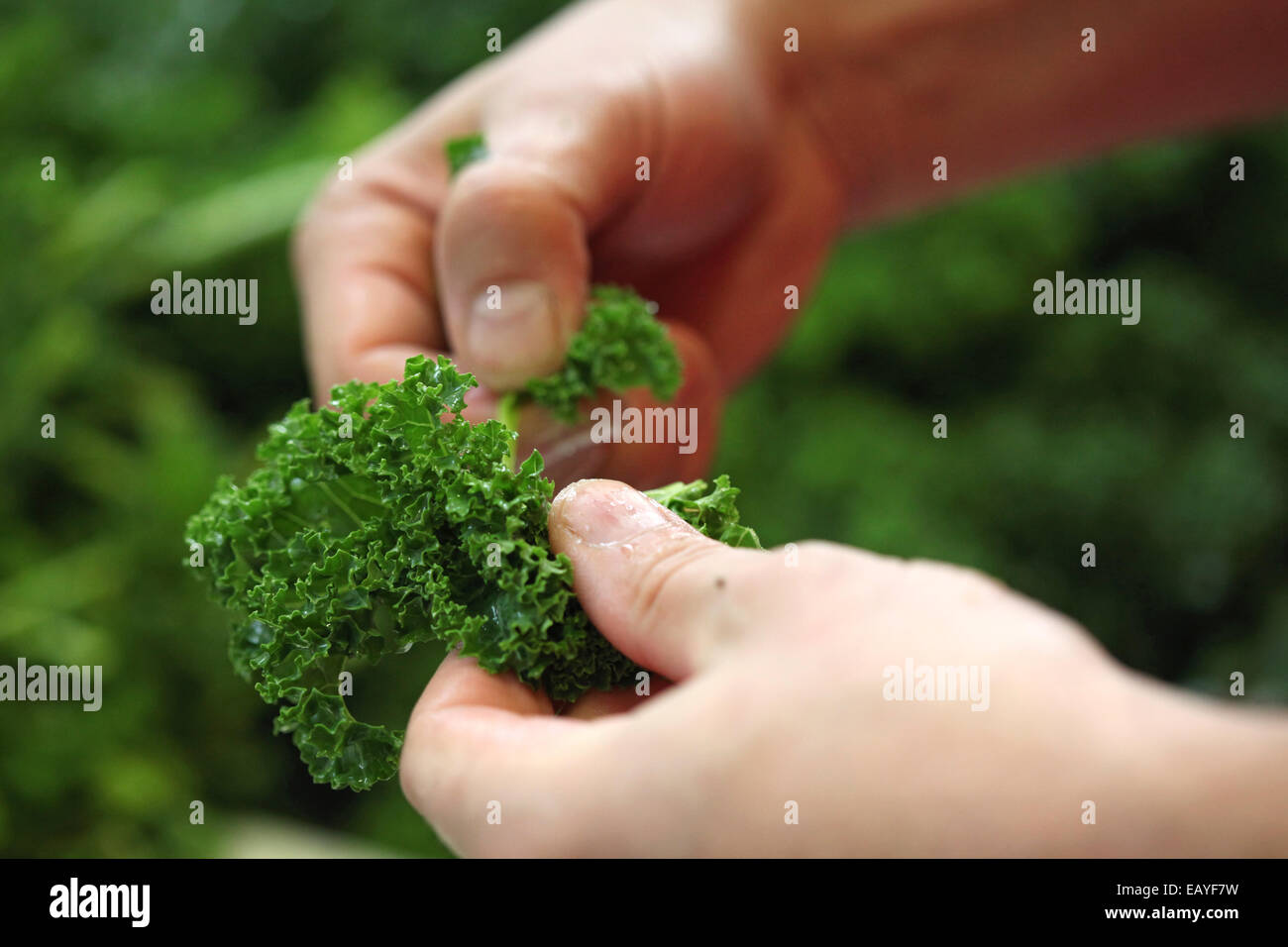 Close-up of hands preparing curly kale for a meal. - Stock Image
