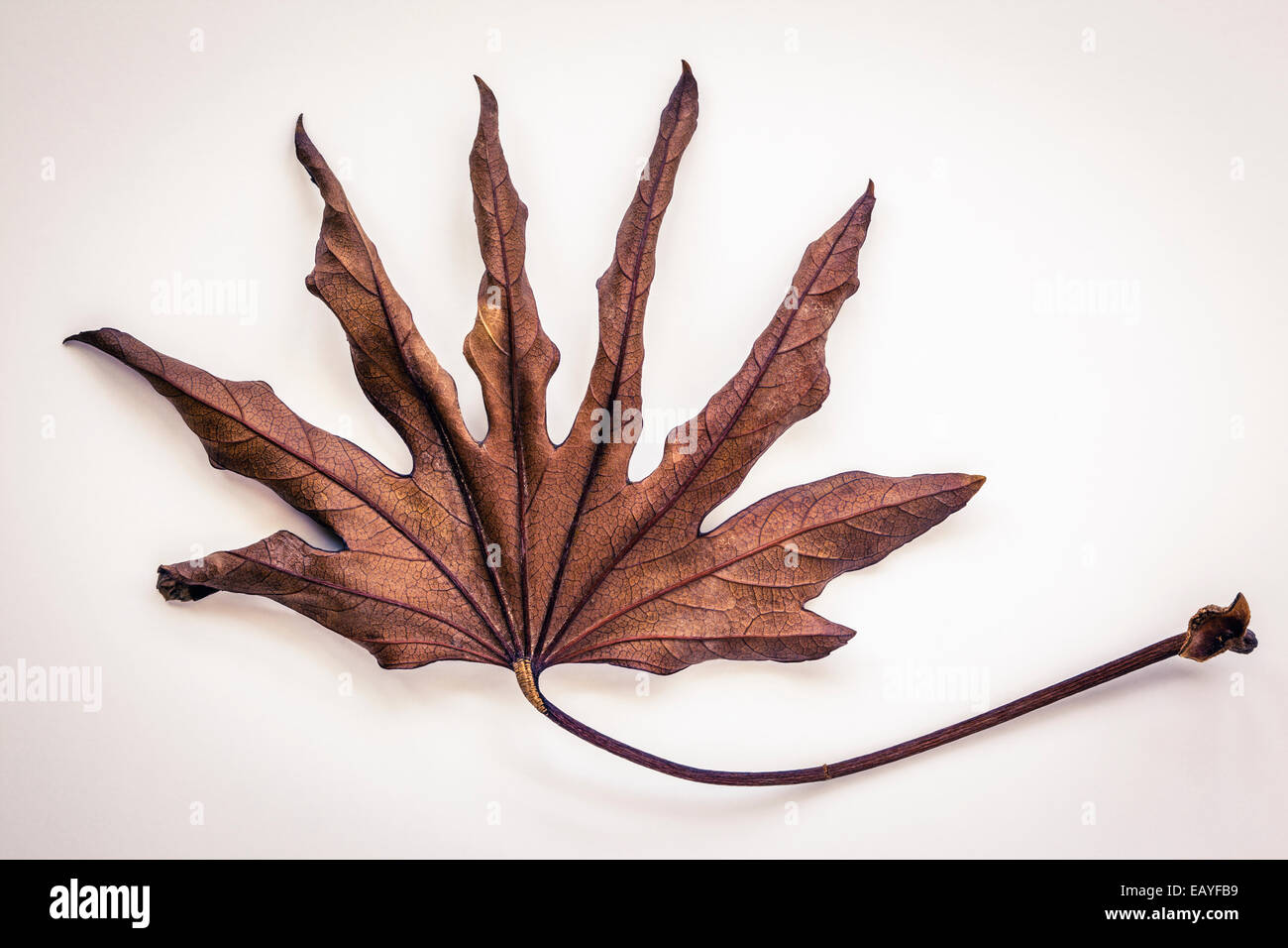dry leaf of a Fatsia japonica - Stock Image