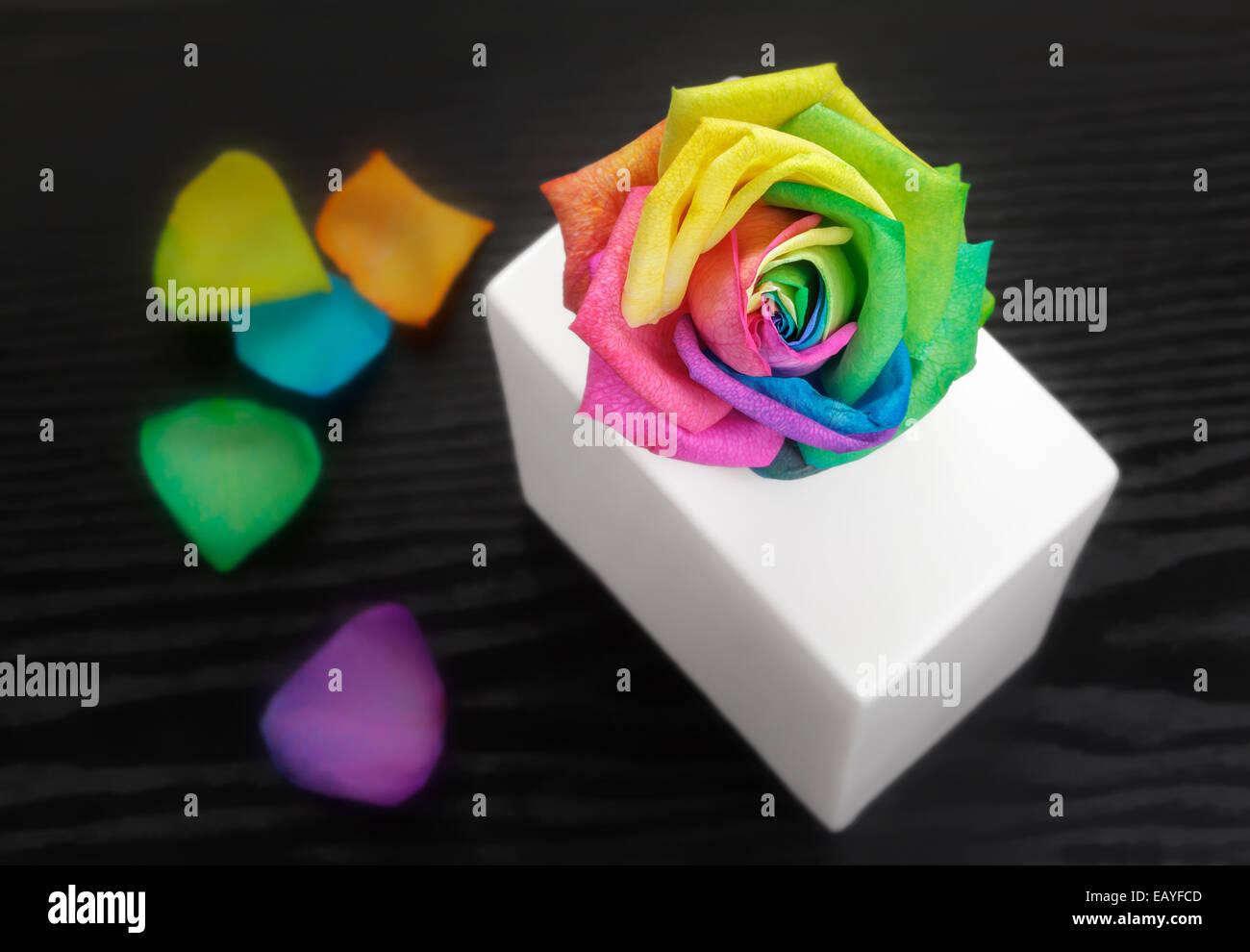 Multicolored Rose - Stock Image