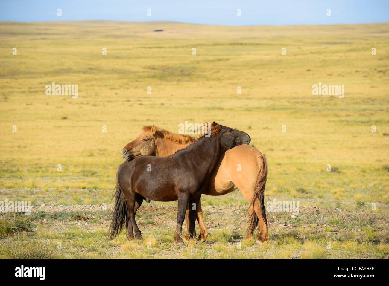 Mongolian horses, Gobi desert, Mongolia - Stock Image