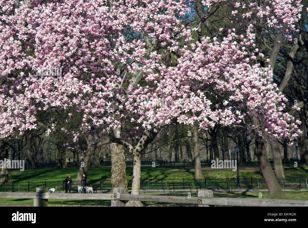 Magnolia Tree In Central Park New York City Stock Photo 75595707
