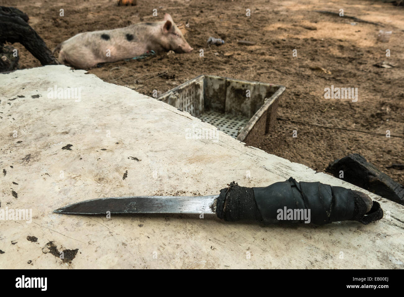 A pig rests int the shade oblivious of the fact that soon he'll be castrated (Praia Seca, Príncipe (São - Stock Image