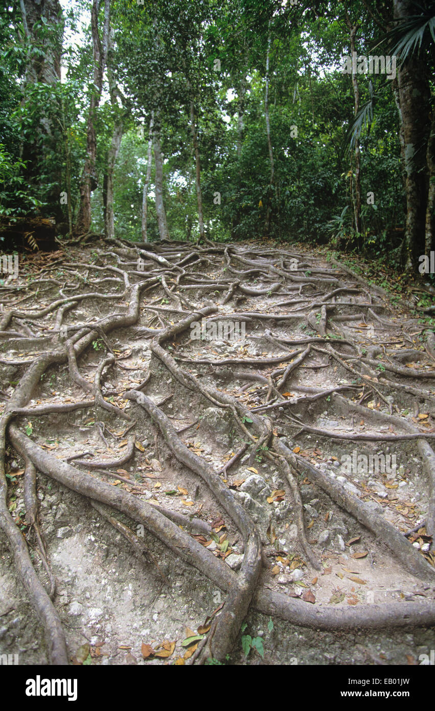 Roots of a ceiba tree at Tikal National Park, Guatemala, Central America - Stock Image
