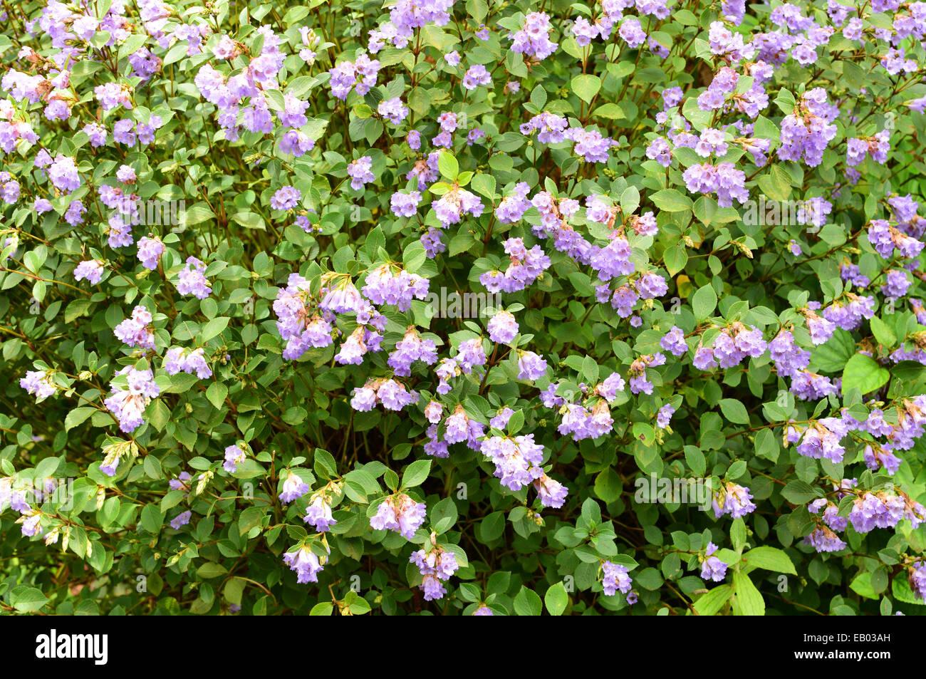 Neelakurinji Flowers in Munnar Hills Kerala India Strobilanthes kunthiana flower - Stock Image