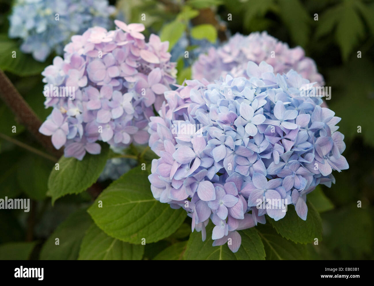 MOPHEAD HYDRANGEA - HYDRANGEA MACROPHYLLA 'ENDLESS SUMMER' - Stock Image