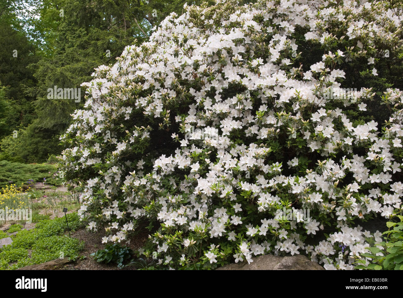 RHODODENDRON 'DELAWARE VALLEY WHITE' - Stock Image