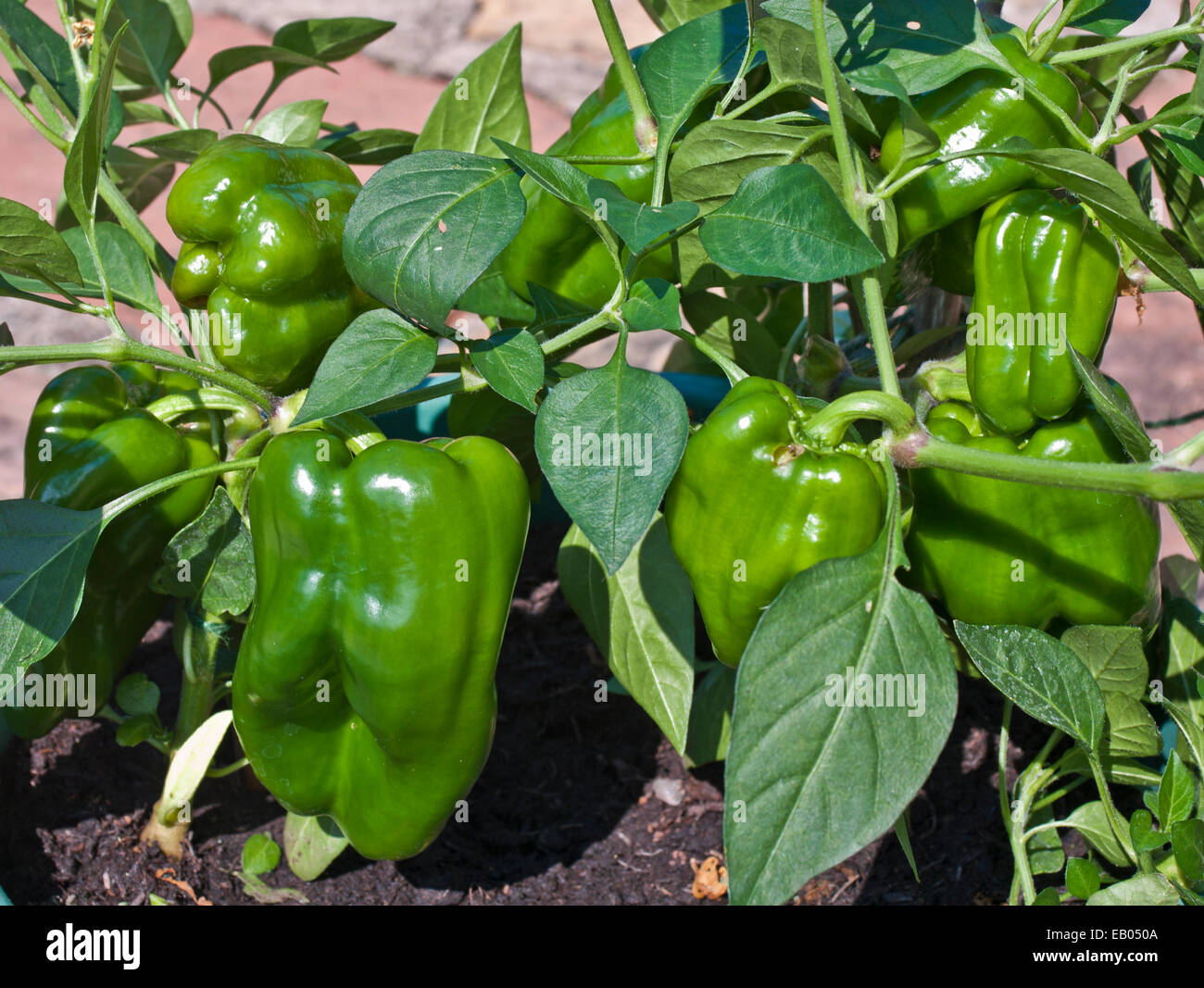 how to look after pepper plants