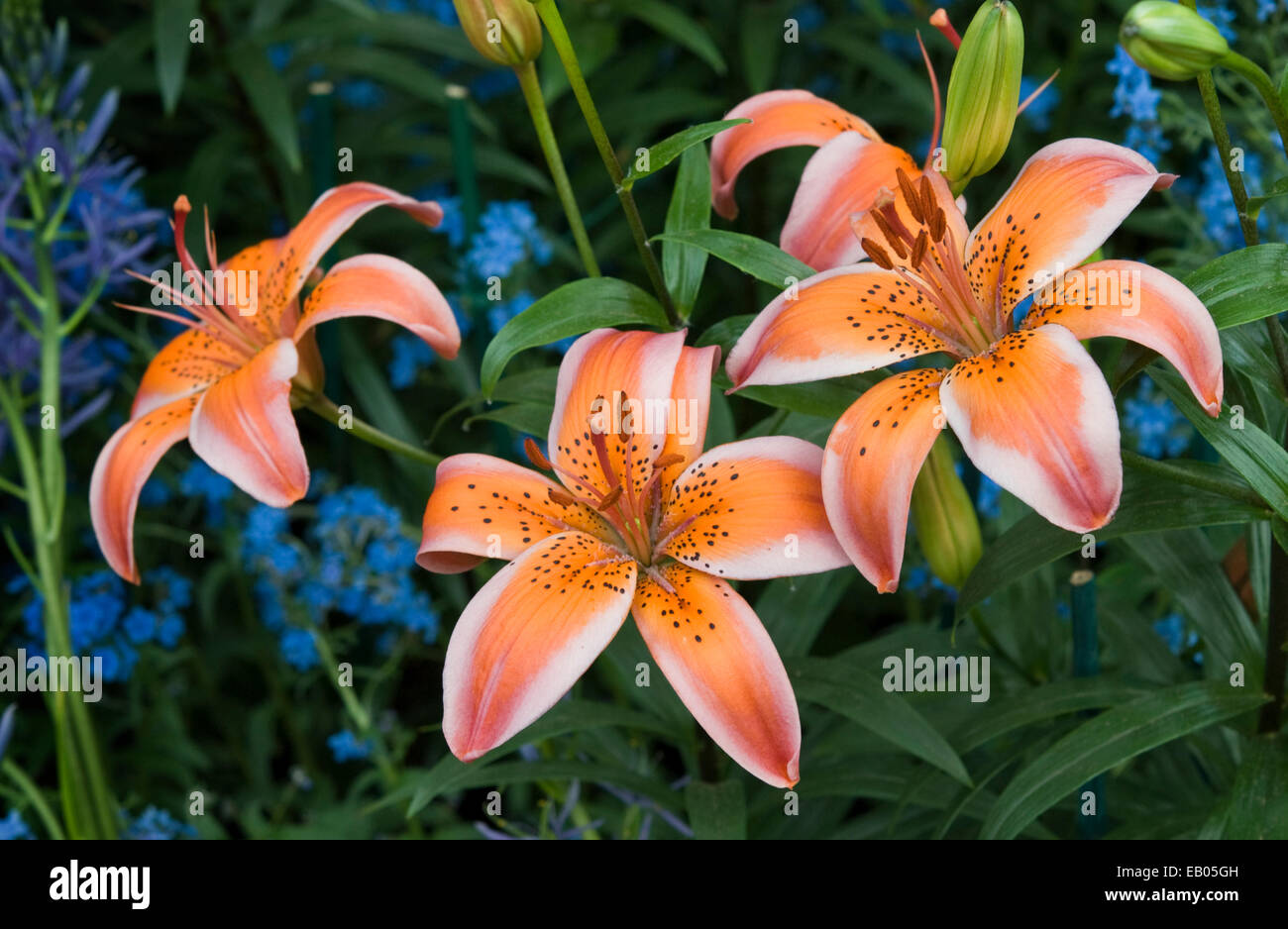 ASIATIC HYBRID LILY - LILIUM 'ELECTRIC' - Stock Image