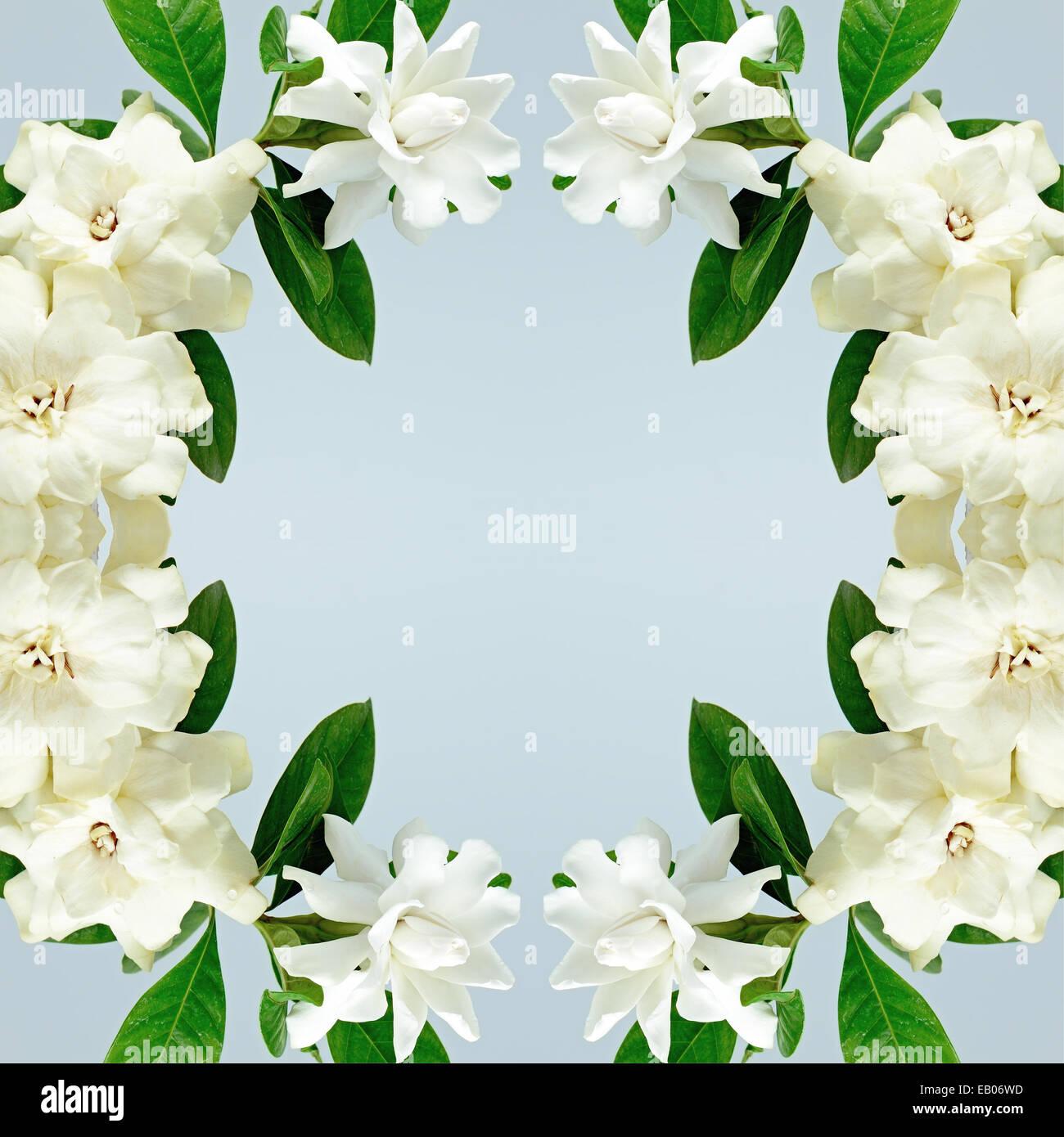 White gardenia flower or cape jasmine gardenia jasminoides stock white gardenia flower or cape jasmine gardenia jasminoides isolated on a blue background mightylinksfo