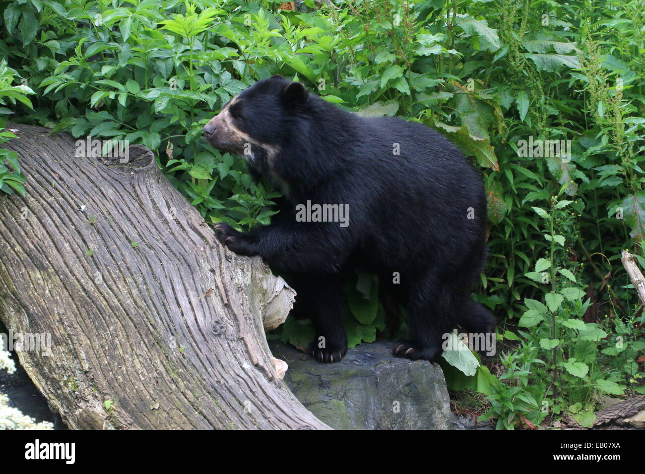 Spectacled or  Andean bear (Tremarctos ornatus) climbing a tree trunk Stock Photo