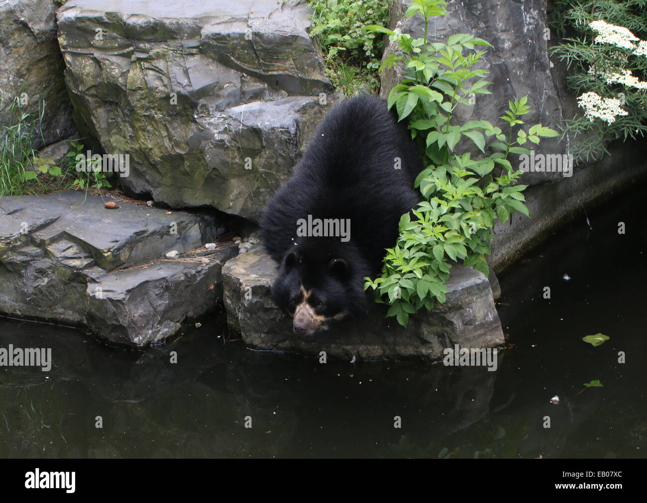 Spectacled or  Andean bear (Tremarctos ornatus) near the water's edge Stock Photo