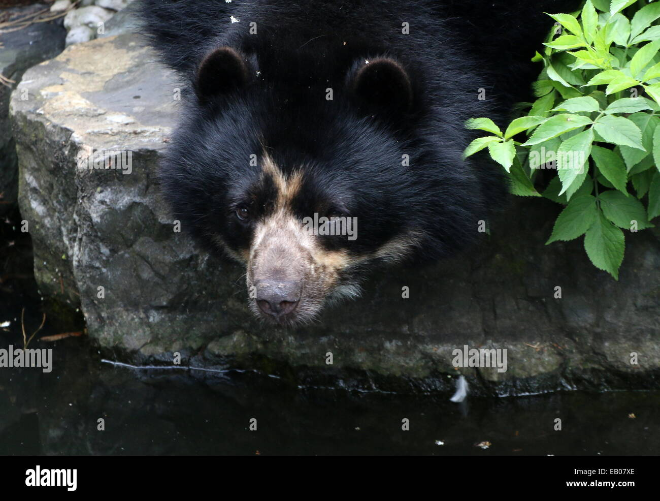 Spectacled or  Andean bear (Tremarctos ornatus) close-up while drinking water, making eye-contact Stock Photo