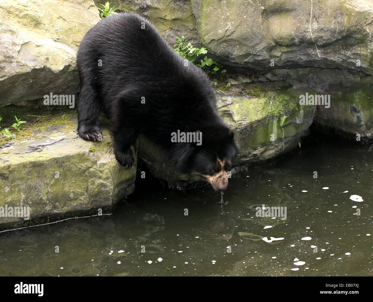 Spectacled or  Andean bear (Tremarctos ornatus) drinking near  the water's edge Stock Photo