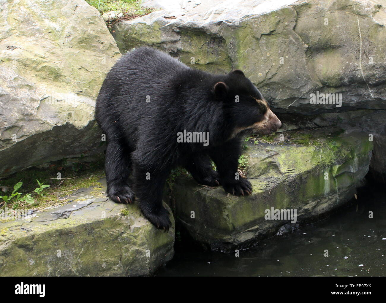 Spectacled or  Andean bear (Tremarctos ornatus) close-up near the water's edge Stock Photo