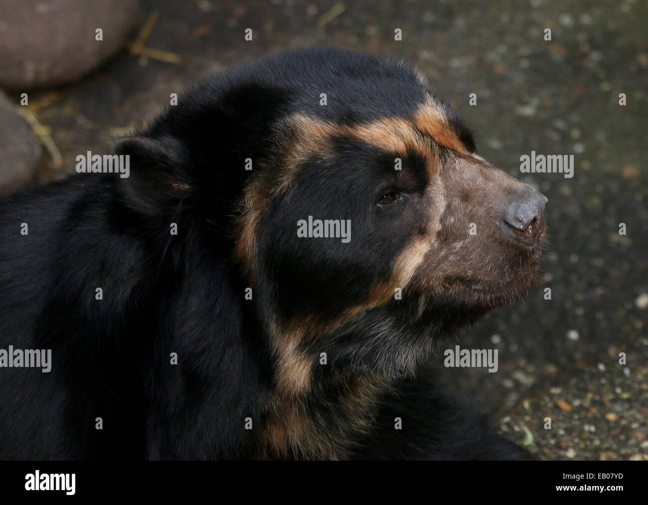 Spectacled or  Andean bear (Tremarctos ornatus) close-up of the head Stock Photo