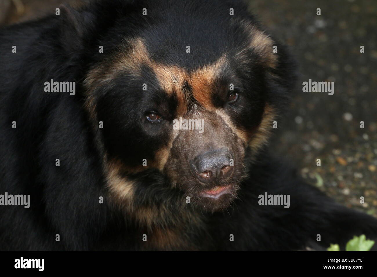 Spectacled or  Andean bear (Tremarctos ornatus) close-up of the head, facing camera Stock Photo