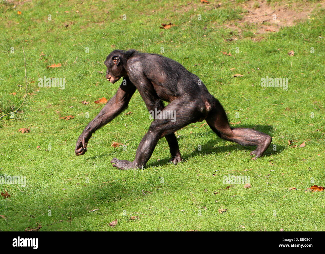 Fast-paced Bonobo or Pygmy Chimpanzee (Pan Paniscus) walking  in a natural setting - Stock Image