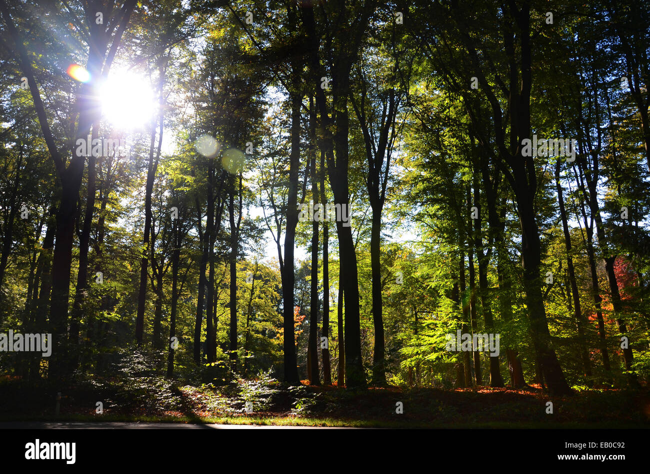 backlit beech forest Netherlands Europe Stock Photo