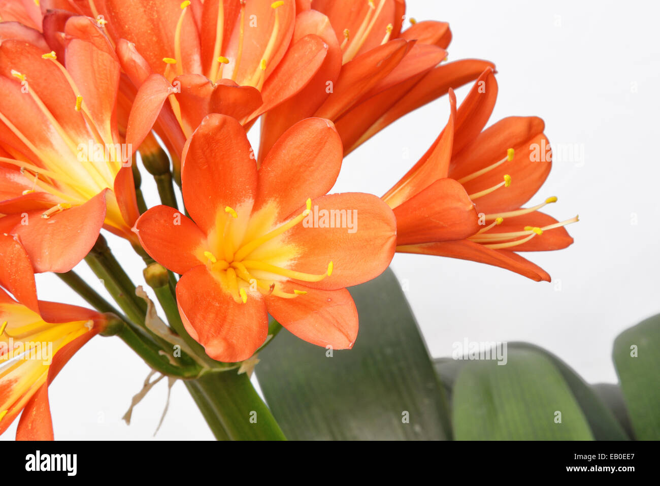 Closeup of Kaffir lily flowers, isolated on white - Stock Image