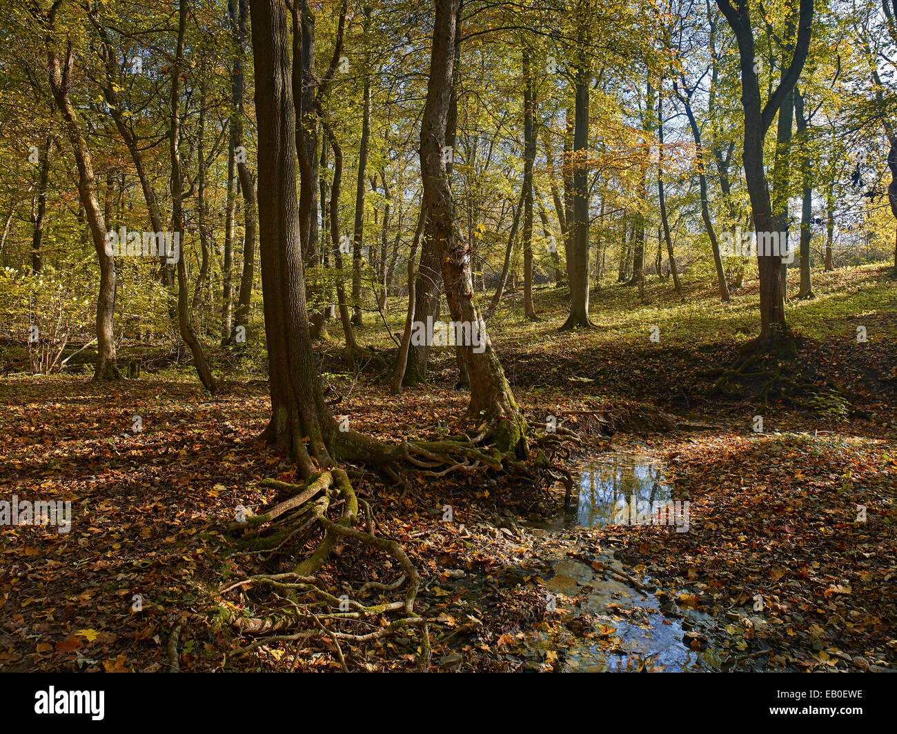 Autumn in National Park Hainich, Germany - Stock Image
