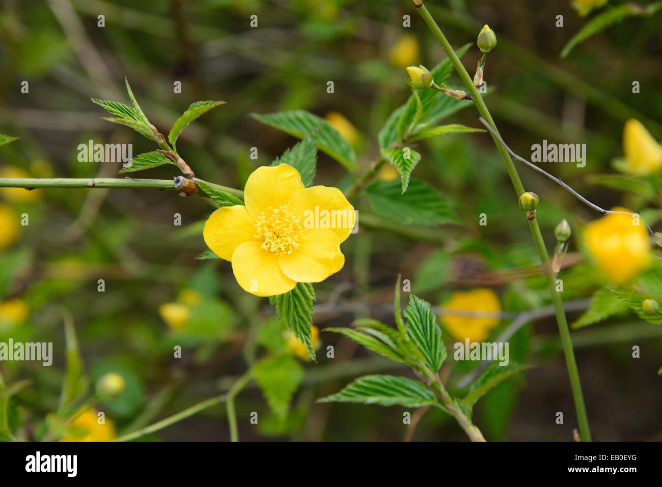 Closeup Of A Yellow Flower Which Has Five Petals Stock Photo