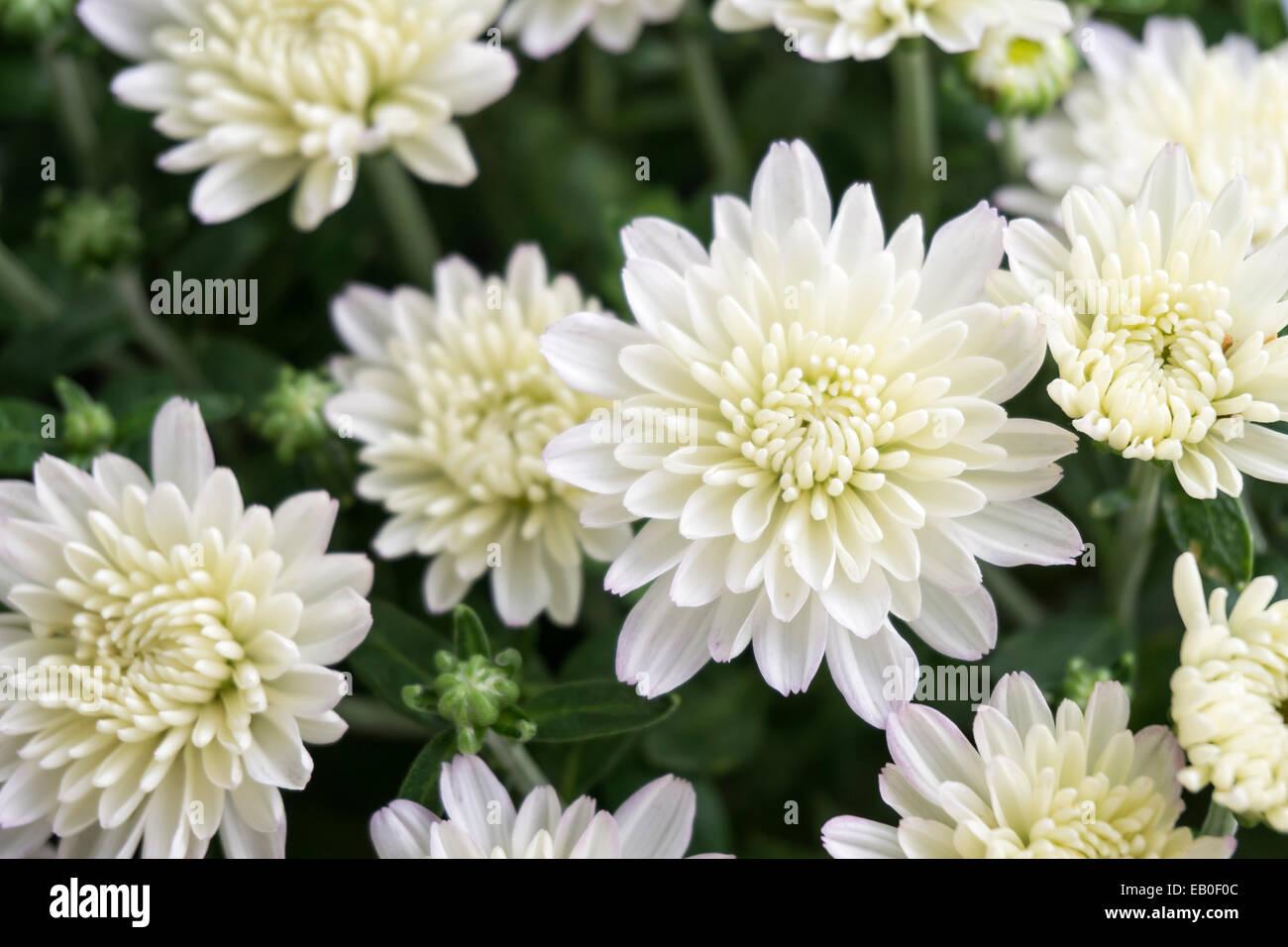 Closeup Of White Chrysanthemum Flower In Field Stock Photo 75614460