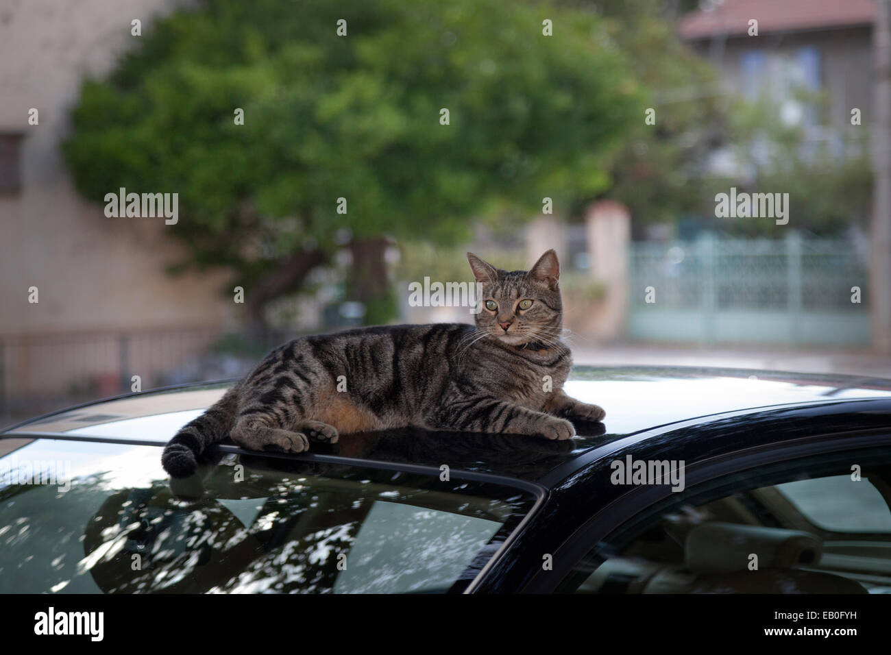 An inconsiderate ordinary cat at rest on a recently washed car, nevertheless 'it's nothing to make a fuss - Stock Image
