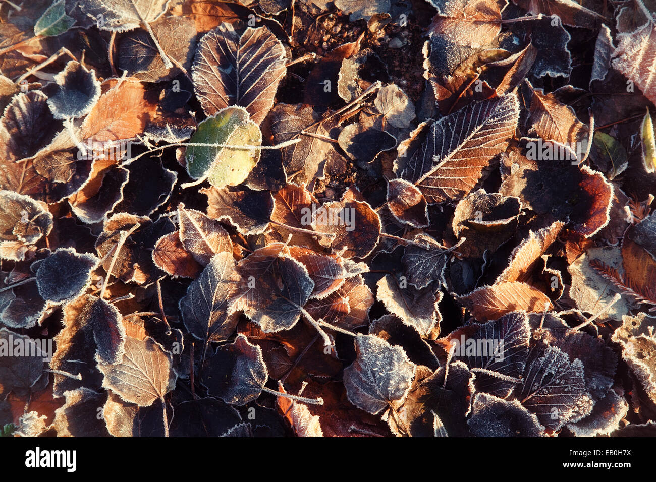 Autumn leaves in a frost on the ground on a frosty morning, UK - Stock Image