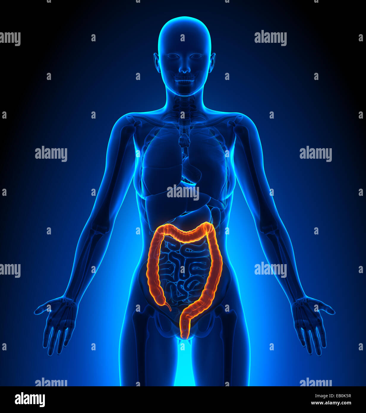 Woman Anatomy Intestine Stock Photos Woman Anatomy Intestine Stock