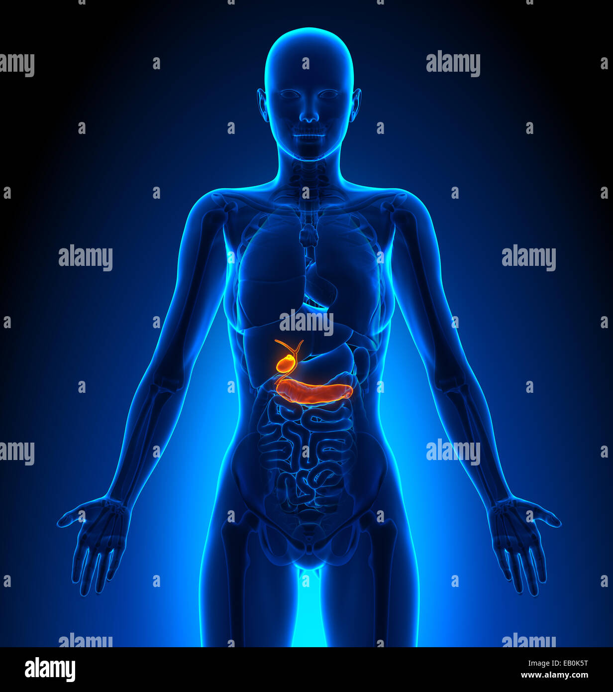 Illustration Female Pancreas Anatomy Stock Photos Illustration