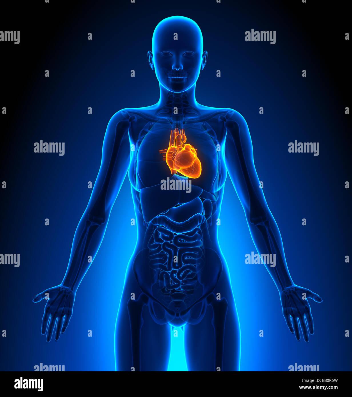 Heart Female Organs Human Anatomy Stock Photo 75617749 Alamy