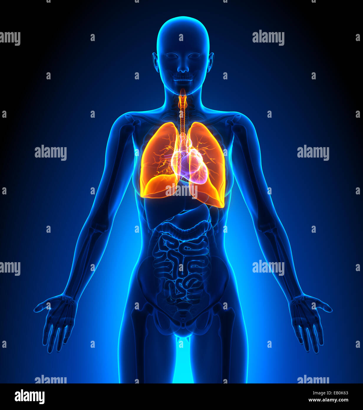 Lungs - Female Organs - Human Anatomy - Stock Image