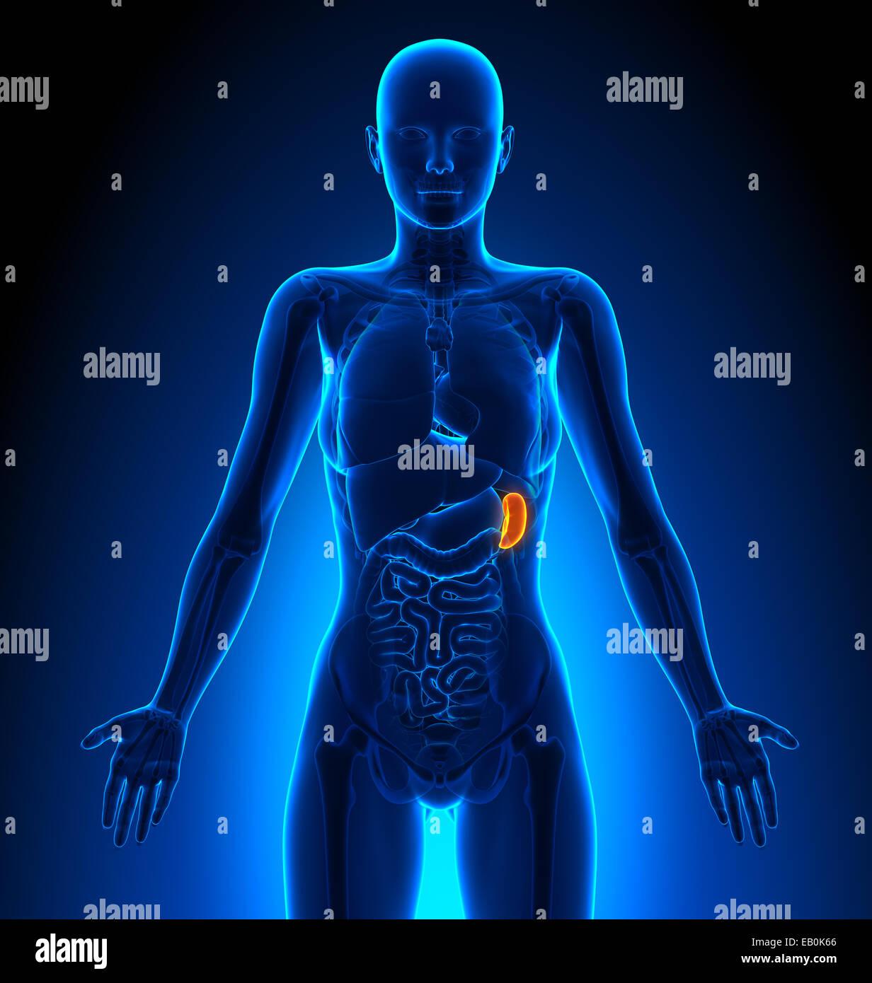 Spleen - Female Organs - Human Anatomy Stock Photo: 75617758 - Alamy